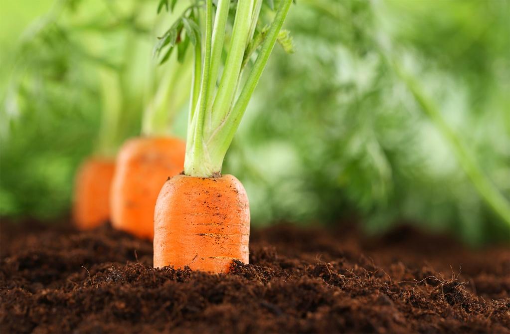 Когда сеять морковь под зиму