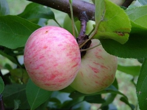 Яблуня колоновидна сорти для Підмосков'я