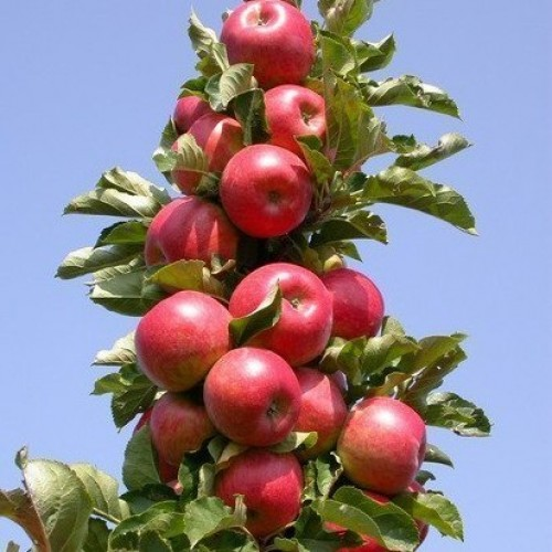 Яблоня колоновидная сорта для подмосковья