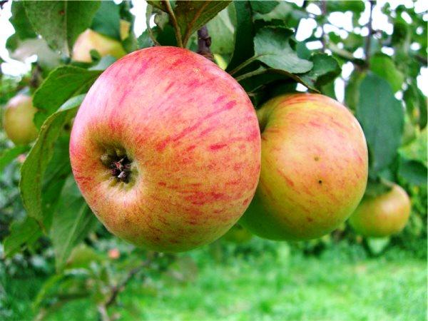 Яблоня медуница описание фото отзывы посадка