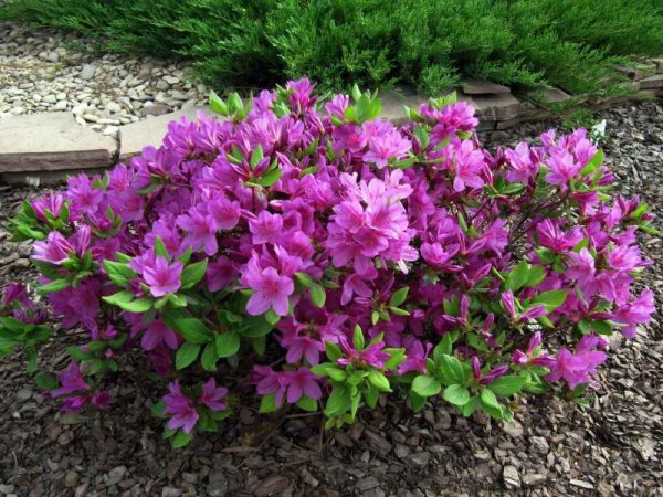 Азалия многолетняя садовая выращивание и уход фото 95