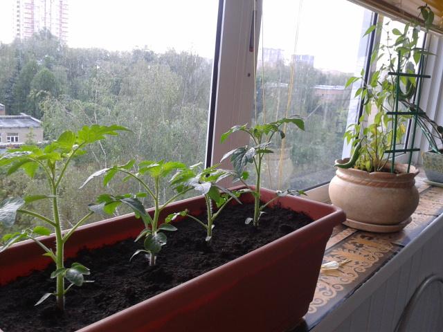 Выращивание черри на подоконнике 25
