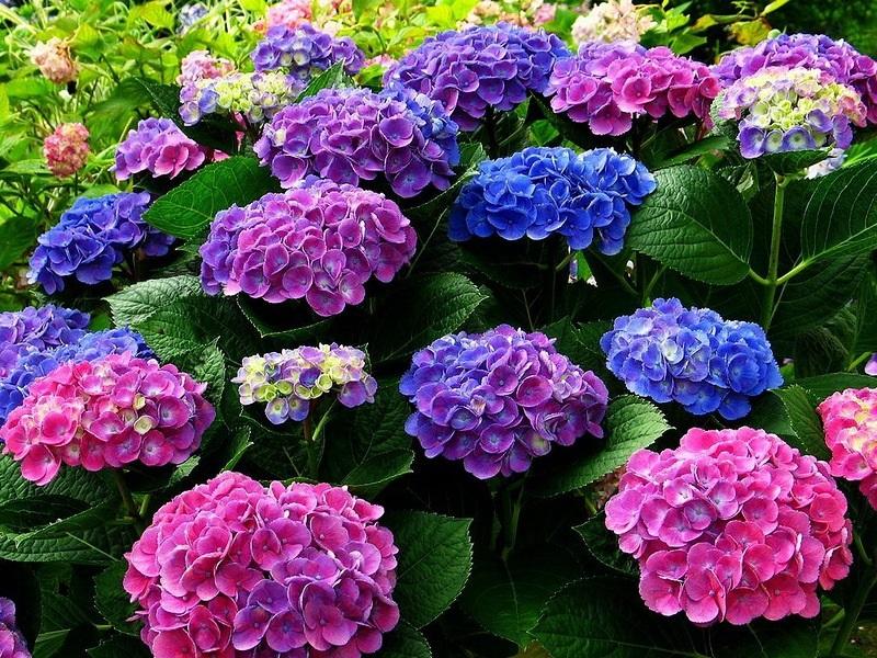 Цветы гортензия садовые