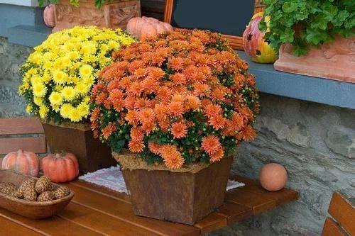 Как ухаживать за хризантемами в домашних условиях после покупки 50