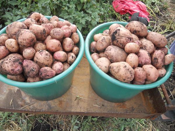 выращивание картофеля в посуде Уорд Многие новшества