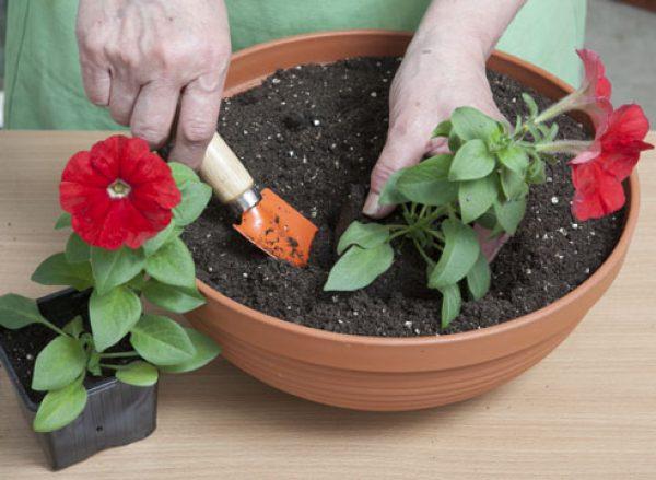 Как вырастить семена петунии в домашних условиях 70