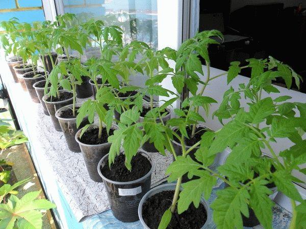 Чем подкормить рассаду помидор после пикировки в домашних условиях
