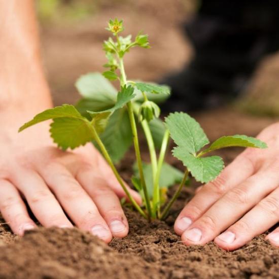 Удобрения для клубники весной для увеличения урожая