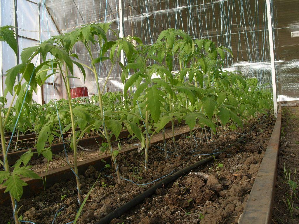 Как посадить помидоры в теплицу правильно