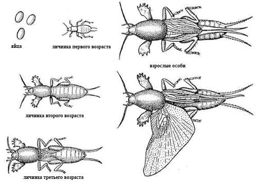 как отличить личинку майского жука от личинки медведки