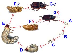 как отличить личинку майского жука от личинки жука носорога