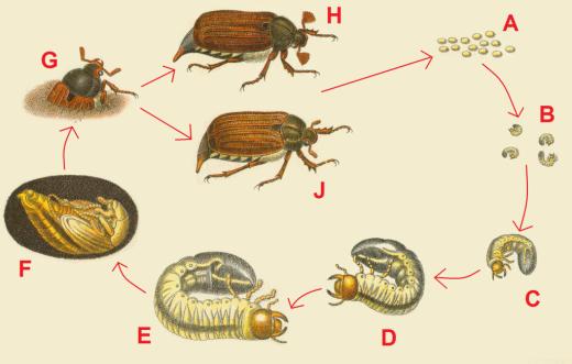 Основные отличия личинки майского жука