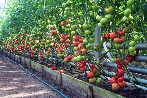 Подкормка помидор в теплице во время цветения