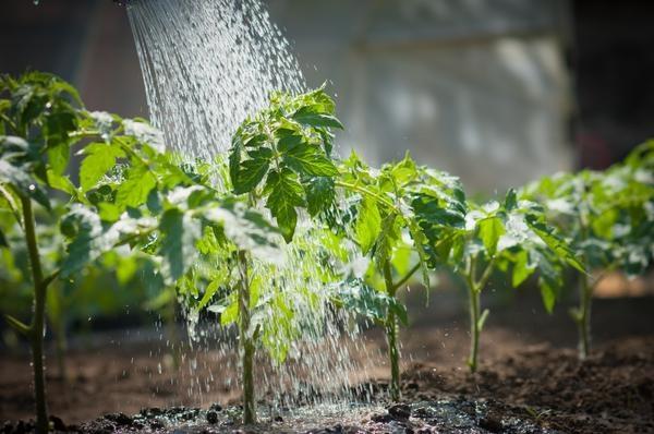 Причины скручивания листьев у томатов в теплице