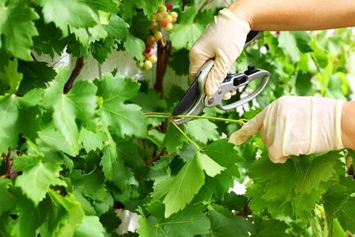 Обрезка винограда во время образования плодов