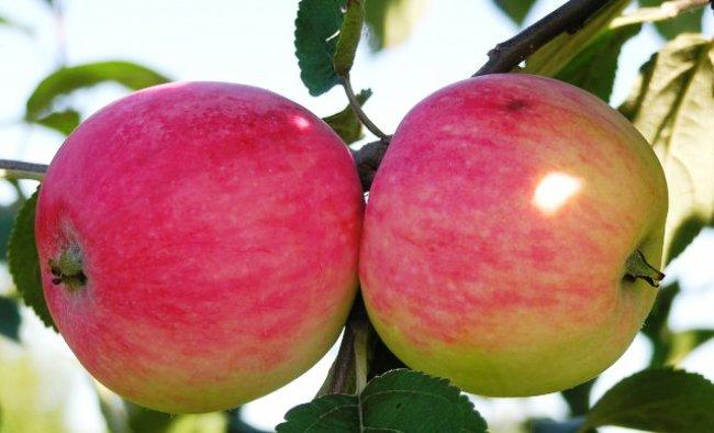 сроки созревания яблок Мельба
