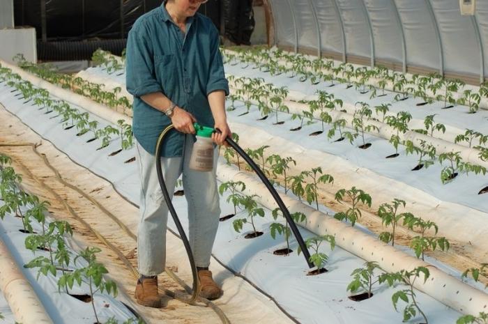 Подкормка помидор в теплице после посадки народными средствами