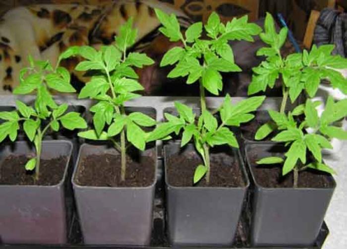 Как сажать семена томатов на рассаду