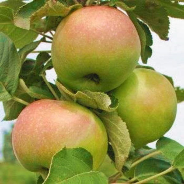 Колоновидная яблоня Янтарное ожерелье