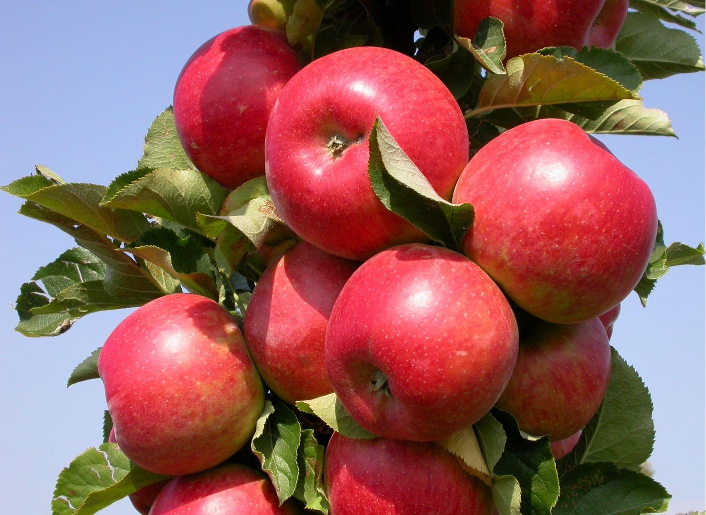 Сорт яблони Останкино (колоновидная): фото, отзывы, описание, характеристики