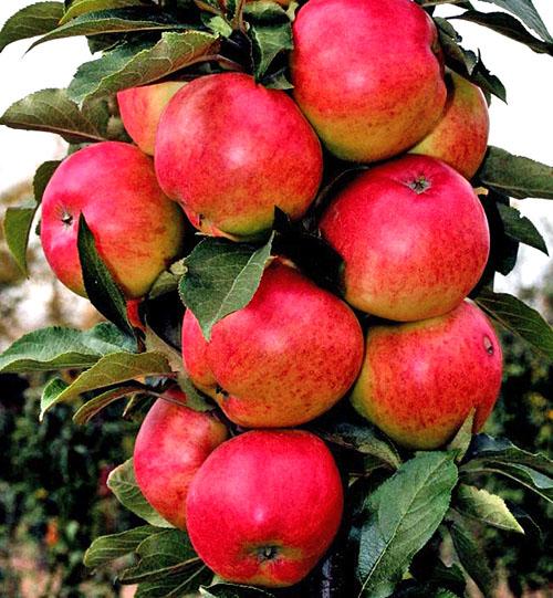 Колоновидная яблоня Московское ожерелье
