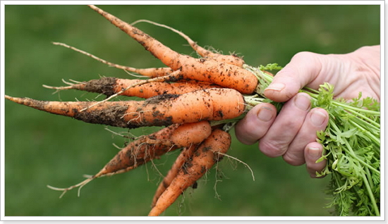 Посев моркови под зиму в Подмосковье: когда и как это делать