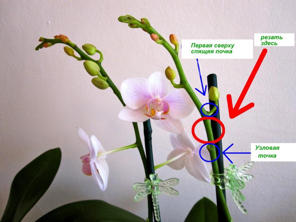 Обрезка орхидеи