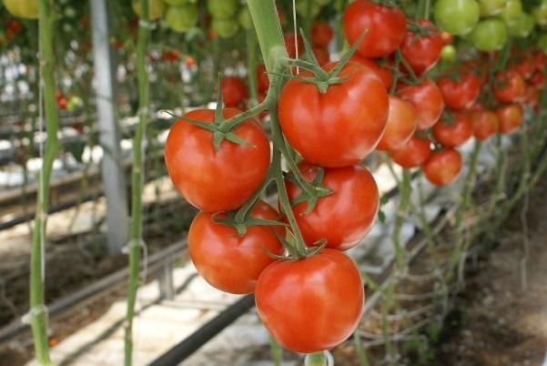 Подбираем семена томатов: самые урожайные сорта