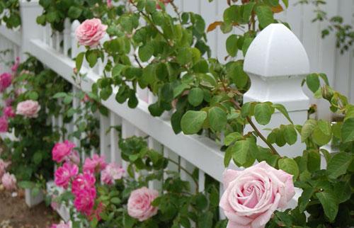 roses2_0