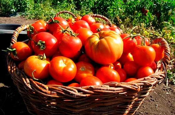 Как выращивать помидоры в подмосковье