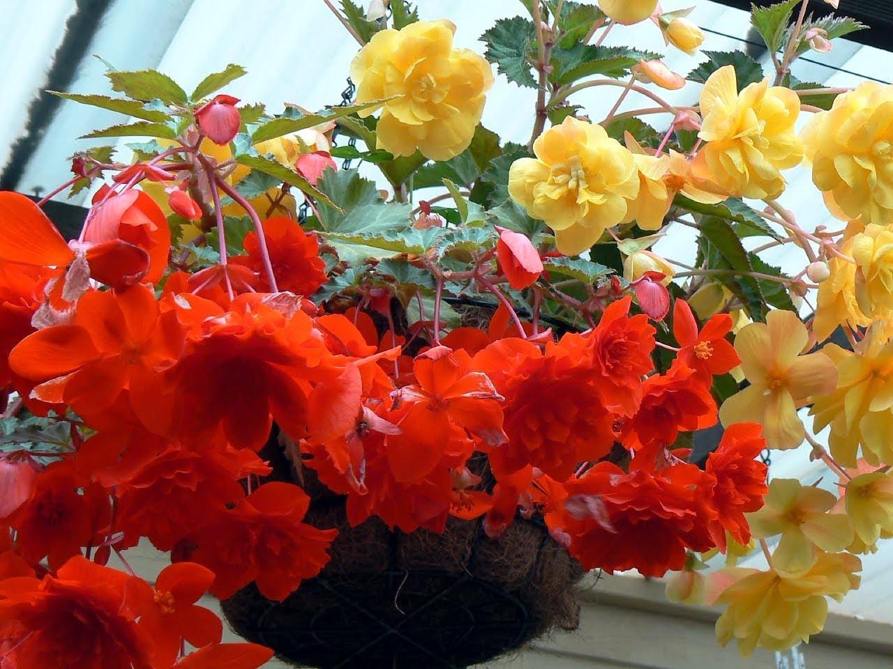 Выращивание бегонии из семян в домашних условиях