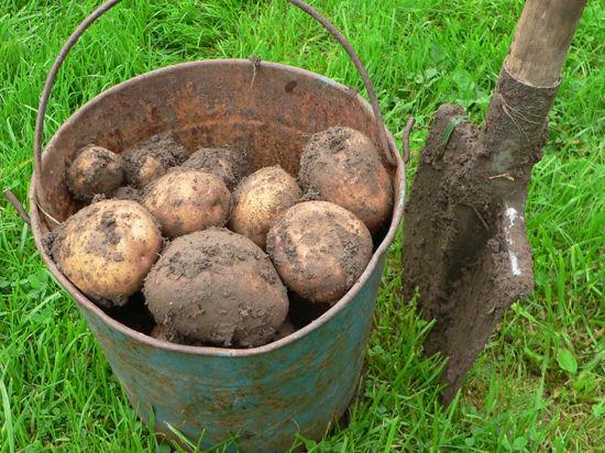 Сроки посадки картошки в 2020 году в Подмосковье