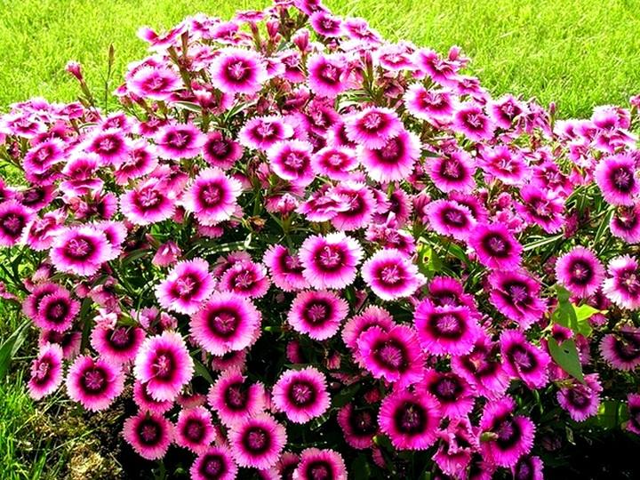 Цветки турецкой гвоздики