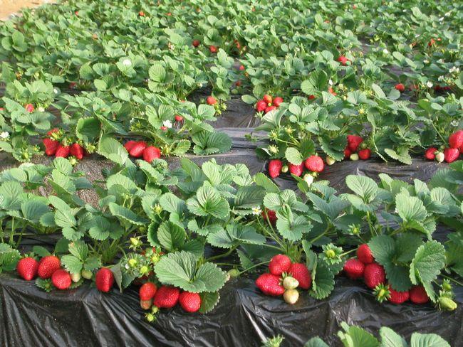 Урожайность клубники Елизавета-2