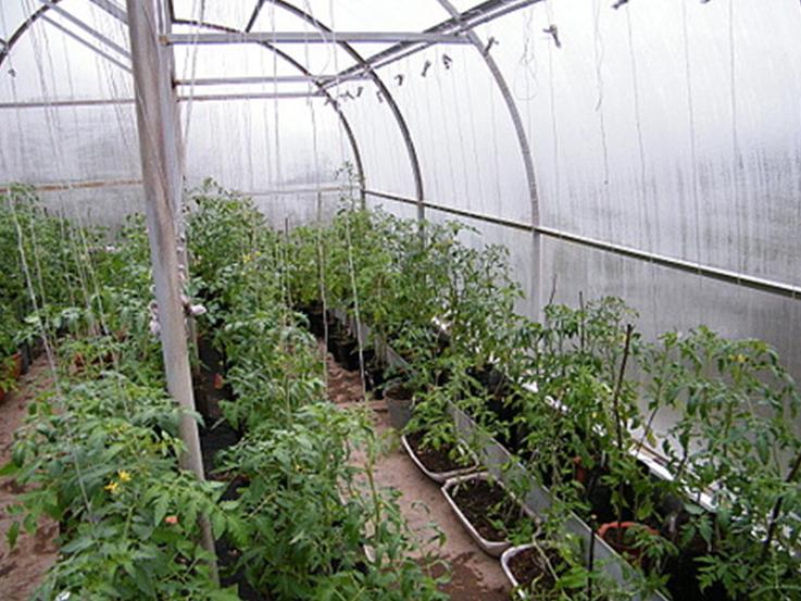 выращиваем томаты в теплице