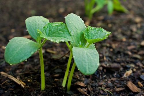 Когда сажать огурцы в открытый грунт в Подмосковье в 2020 году, чтобы получить хороший урожай