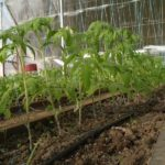 Подкормка томатов в теплице: какие удобрения, и когда использовать