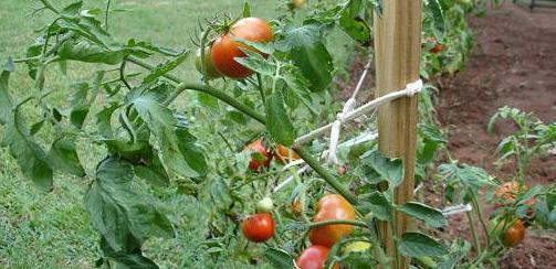 помидоры для Подмосковья