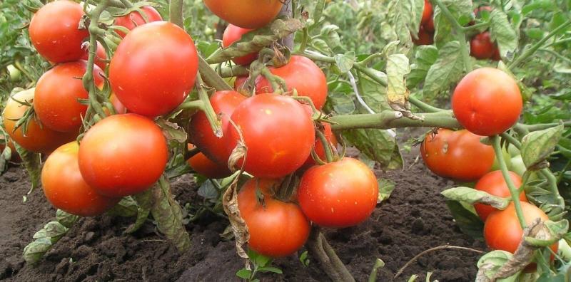 помидоры без пасынкования