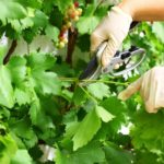 Уход за виноградом летом и его обрезка