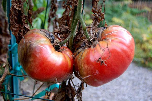 фитофтора на томатах