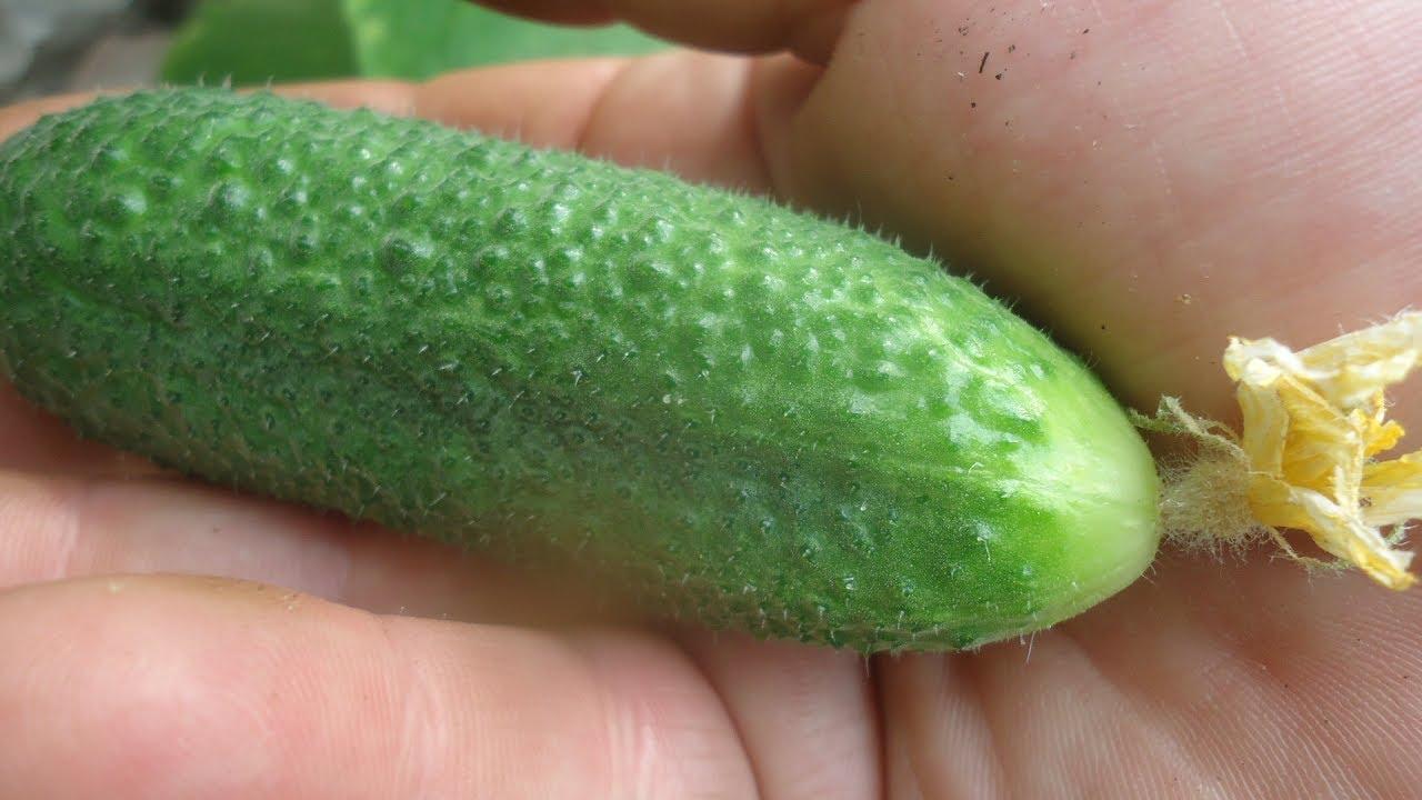 огурцы плодоносят