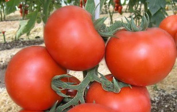томаты Катя