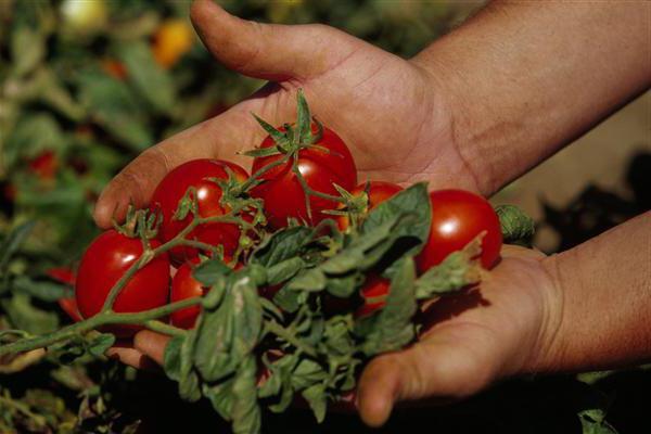 Чем подкормить помидоры во время цветения и плодоношения в теплице