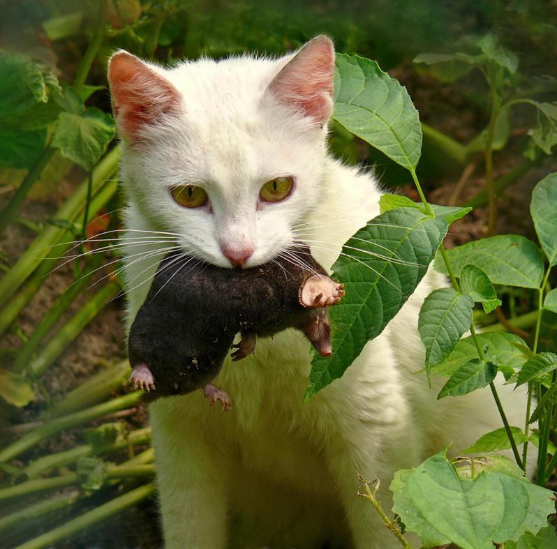 кот ловит землеройку