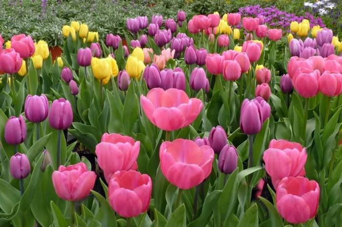 тюльпаны в цвету