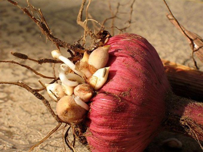 обработанные луковицы гладиолусов