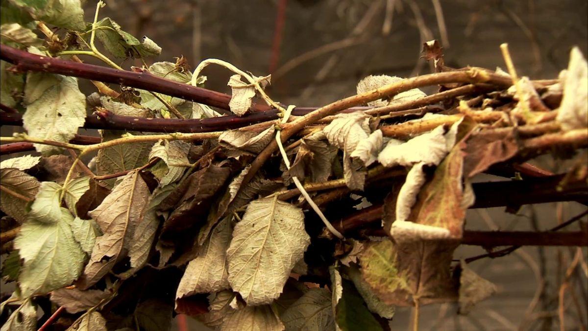 уход за малиной осенью