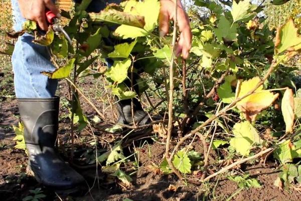 Уход за смородиной после сбора урожая: обрезка, подготовка к зиме