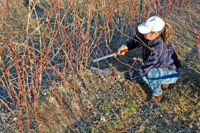 Пересадка малины осенью на новое место: простые правила